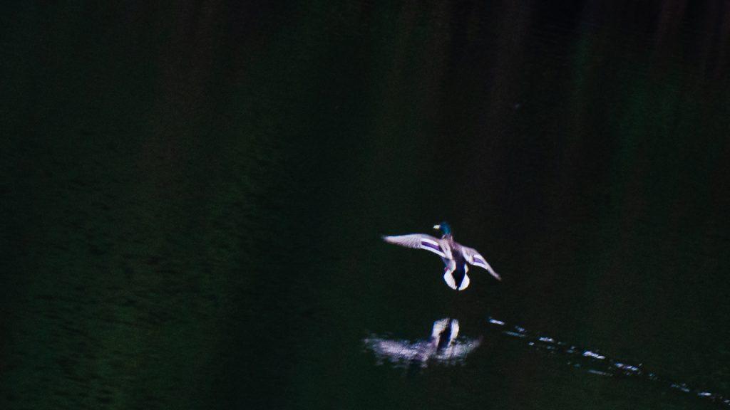 Siland lander på vatnet